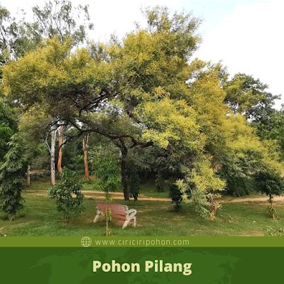 Pohon Pilang