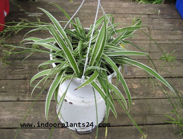 Liliaceae  SPIDER PLANT indoor house plant potted