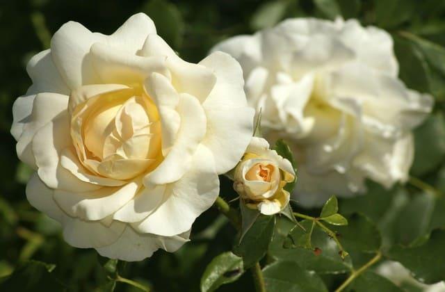 mawar putih yang sejuk dipandang