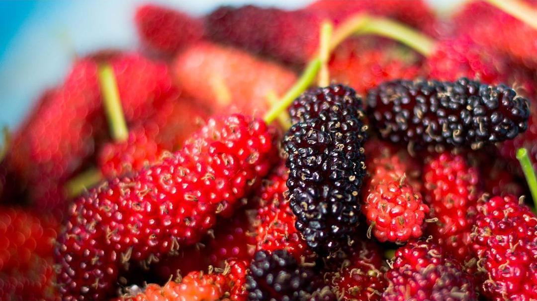 Jaminan Mutu! Bibit Buah Murbei arbei balckberry Sudah tumbuh dan berbuah Kota Bogor #jual bibit buah buahan