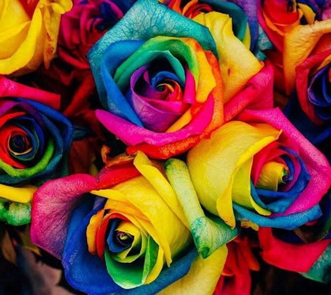 Colorful Rose FULL HD