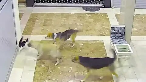 Кошка разогнала напавшую на своего котенка стаю собак! Видео