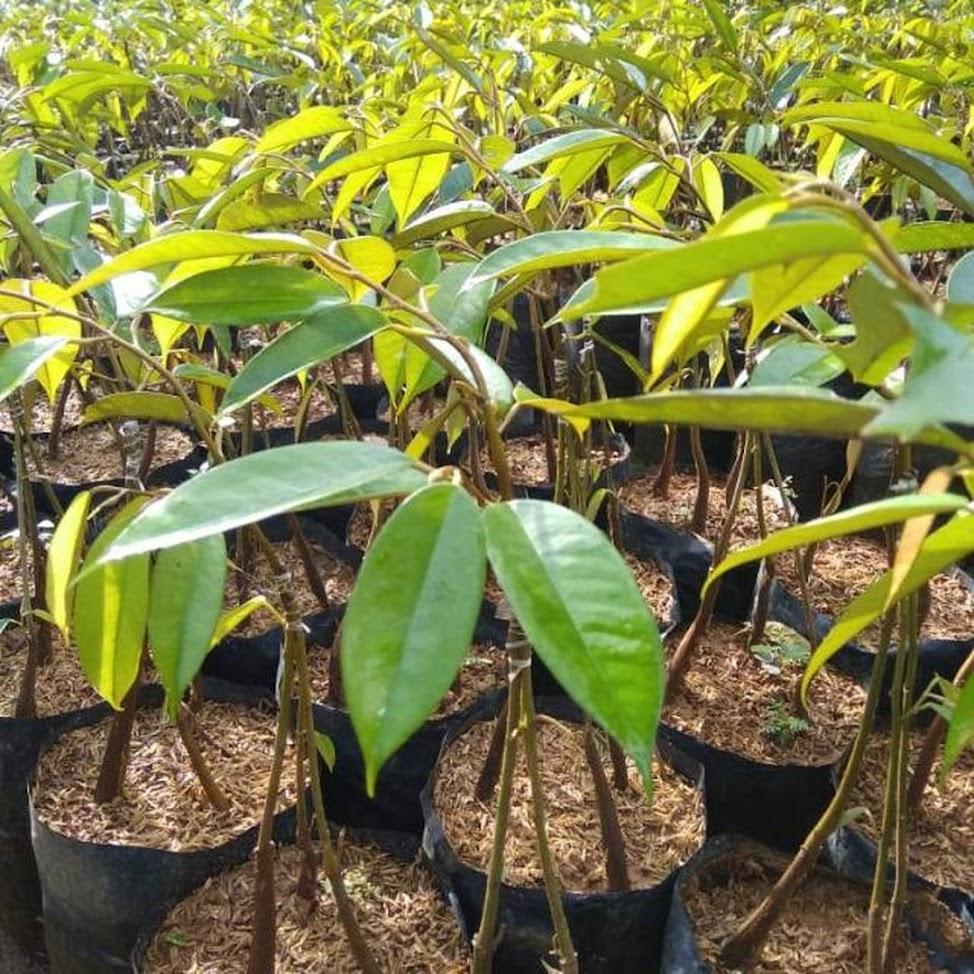 Bibit durian montong bawor kaki 3 Bangka Belitung