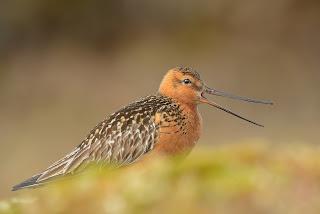 bar-tailed godwit long distance bird flyer
