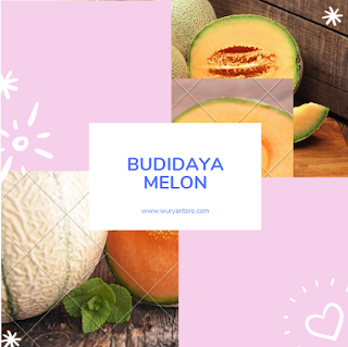 Budidaya Tanaman Melon