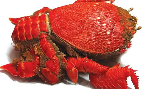 Vỏ cua màu đỏ hồng hình dáng như loài rùa trông rất bắt mắt.