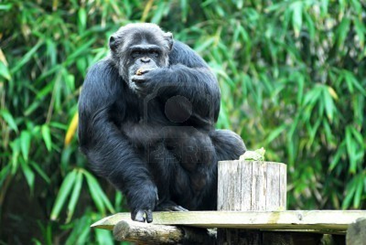 Chimpanzee | Animal Wildlife