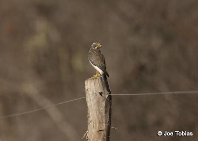 halcones de argentina Halconcito gris Spiziapteryx circumcinctus