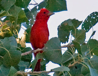Photo of male Summer Tanager in cottonwood tree