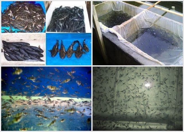 Lokasi Budidaya Ikan Betutu