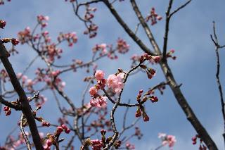 桜だより エドヒガン・ヨコハマヒザクラ
