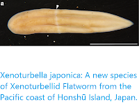 https://sciencythoughts.blogspot.com/2018/01/xenoturbella-japonica-new-species-of.html