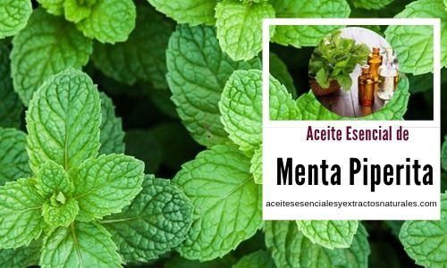 El aceite esencial de menta piperitas sus usos en aromaterapia es amplio utilizados para el dolor de cabeza, etc..
