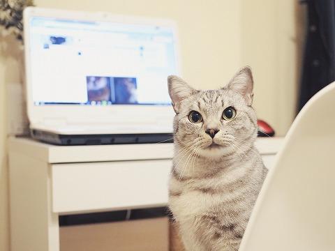 PCデスクの椅子の上からこっちを見てるサバトラ猫