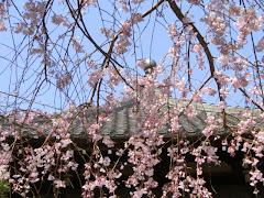本覚寺枝垂れ桜
