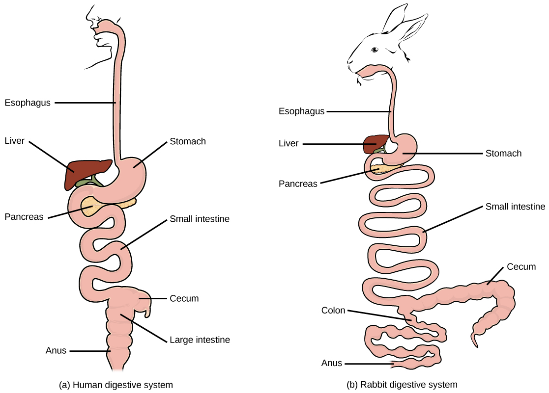 Diagrams Digestive System Of Human And Rabbit