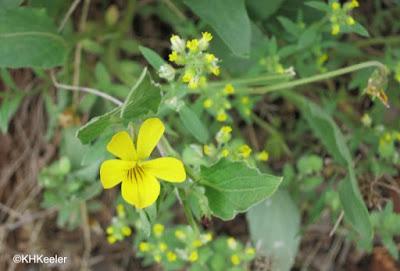 prairie yellow violet, Viola nuttallii