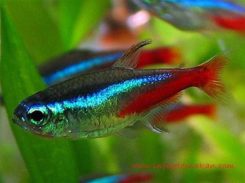 Neon Tetra - Jenis Jenis Ikan Hias Air Tawar Aquascape Paling Lengkap