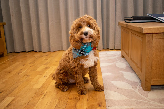red and white cockapoo puppy sat indoors wearing blue tartan bandana
