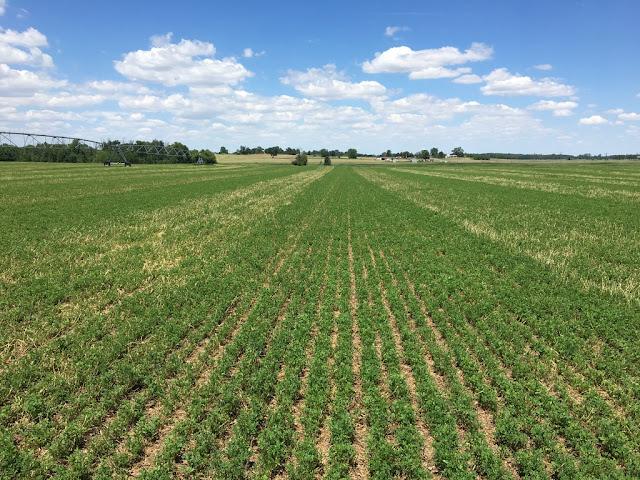 LAND OF LIQUID: Making Good Alfalfa Better…..With AgroLiquid