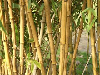 Bambou doré - Phyllostachys aurea