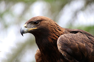 golden eagles trapeed 130,000 years ago