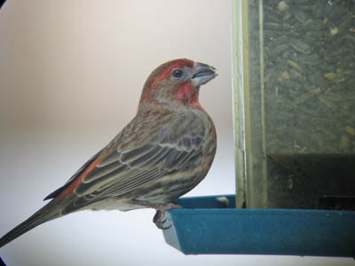 Photo of male House Finch eating sunflowers at a feeder