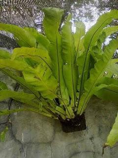 Jual Tanaman Paku Kadaka ( Pohon Pakis Sarang Burung )