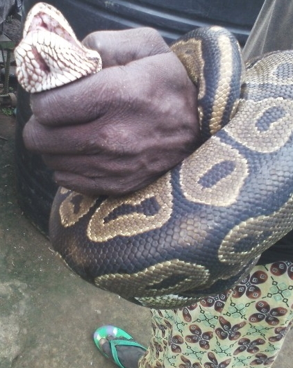 farmer catches live python ijebu ogun state