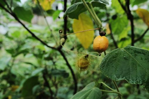 manfaat buah rambusa dan efek samping untuk kesehatan tubuh.