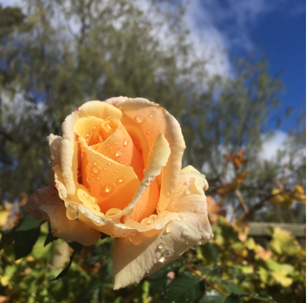 Yellow rose with drops of rain