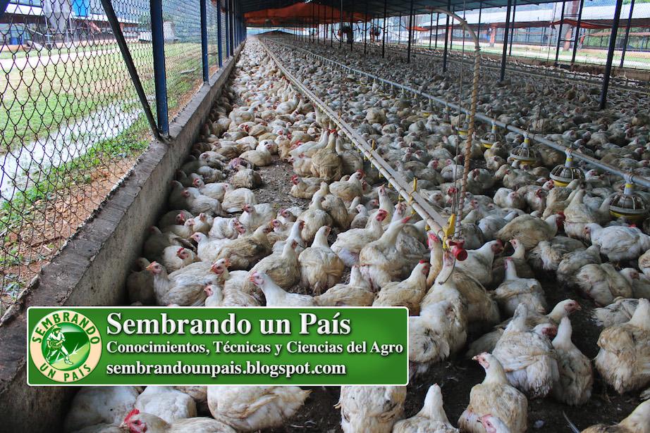pollos listos para ser beneficiados