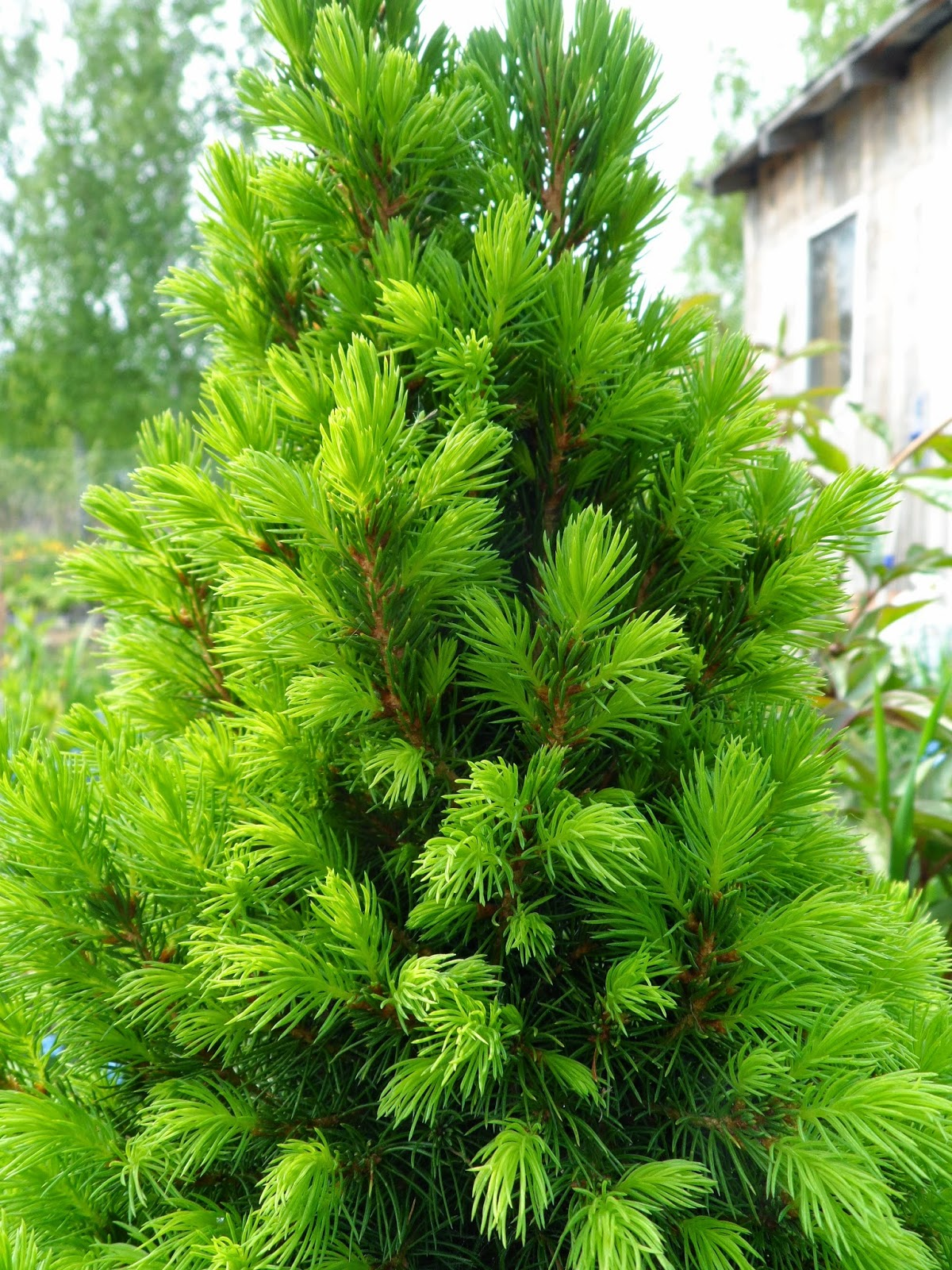 Helen Fir-tree природа май 2014 года Nature in May 2014