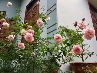 hoa hong dao
