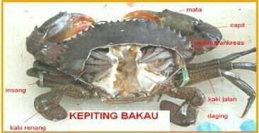 morfologi dan anatomi kepiting bakau