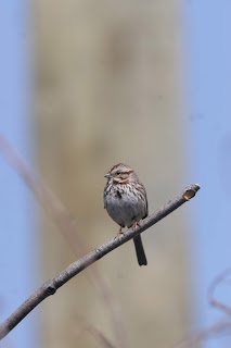 Song Sparrow identification