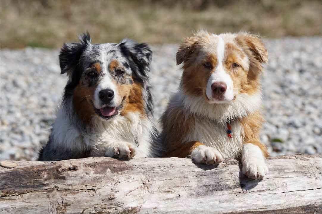 cynophile, toilettage, le chien berger australien, police d'assurance, mutuelle chien, assurance chien, assurance pour animaux de compagnie, assurance pour animaux domestiques, assureur, berger américain miniature, animal de compagnie, aliments pour chien, nourriture pour chien, éducateur canin, dresseur de chiens