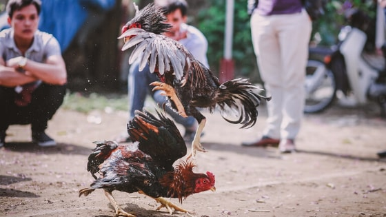 Cockfighting philippines facts