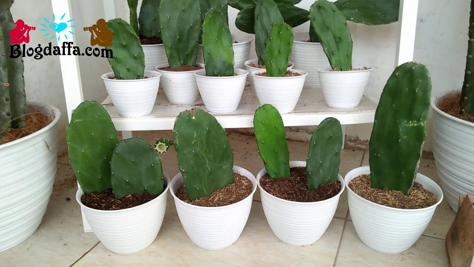 Kaktus Centong