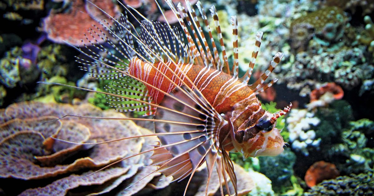 Jenis Ikan Laut Yang Berbahaya Bagi Manusia - Informasi ...