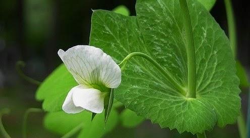 Fiore di pisello.