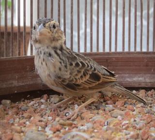 Mengenal Lebih Dekat Burung Branjangan-Mirafra Javanica