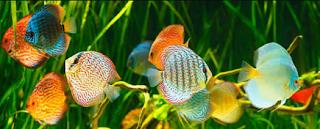 Bagaimana budidaya dan gambar ikan discus di aquarium