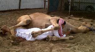 Camel having sex