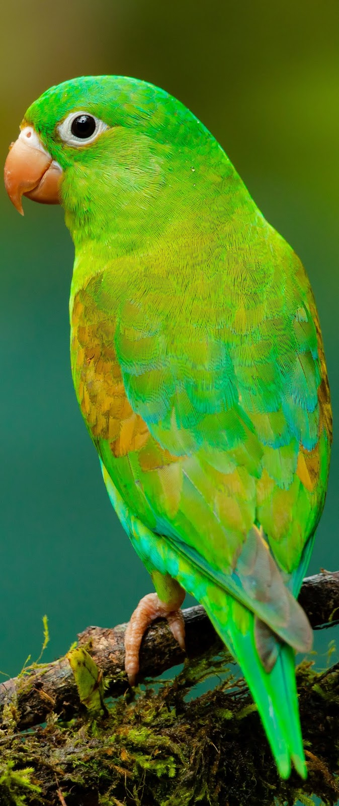 Beautiful green parrot.