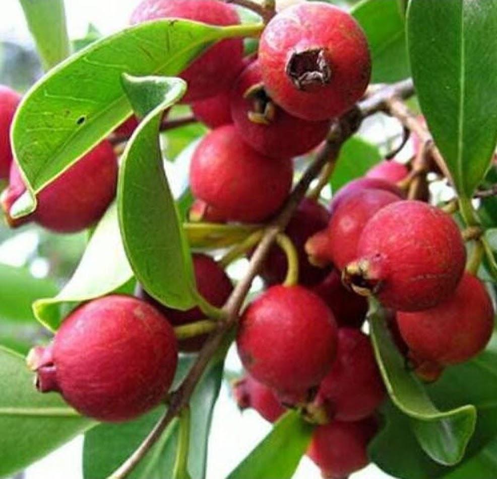 Bibit Buah Jambu Leci Strawberry Guava Tanaman Buah Unik Langka Stok Ready Bontang