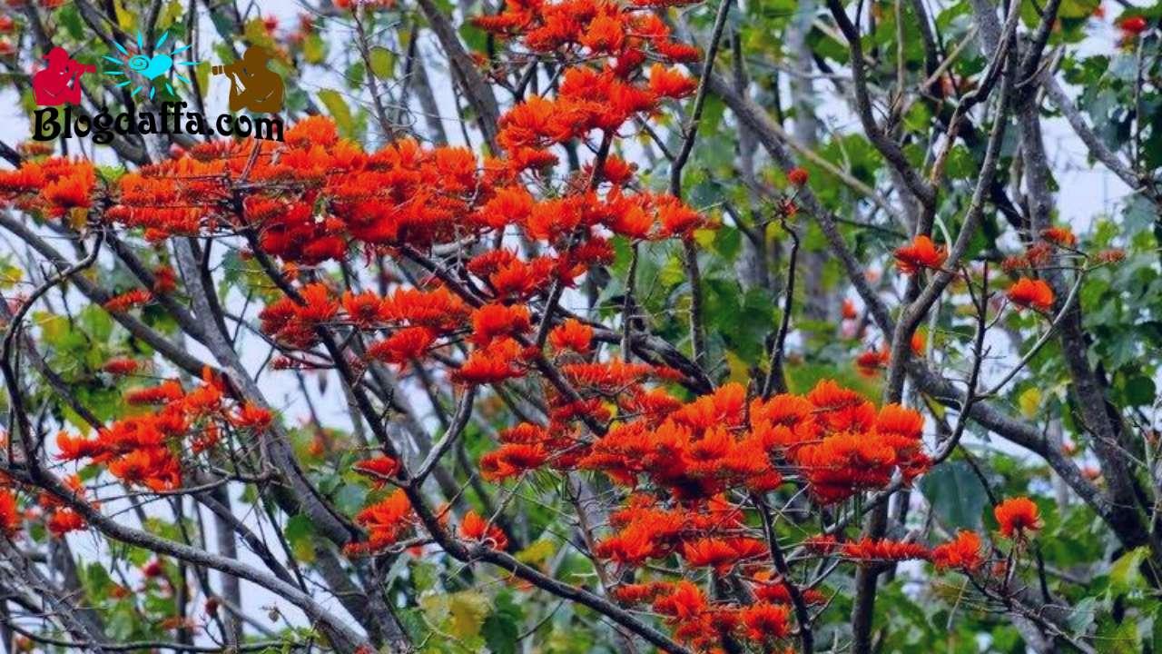 Mata Lembu (Firmiana malayana)