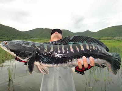 Channa micropeltes atau biasa disebut ikan gabus toman