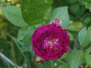 Bleu Mantle Rose