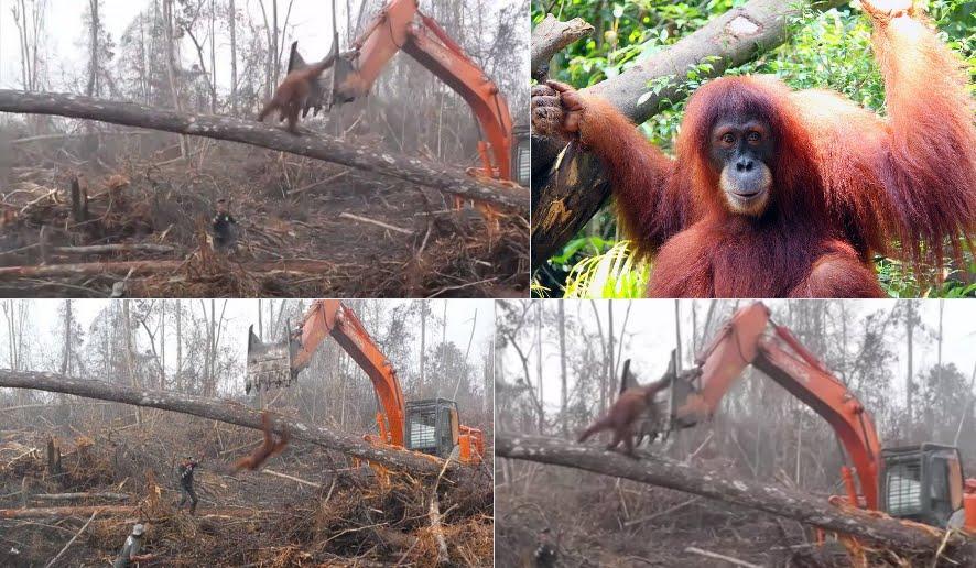 Video Emozionante: Orango affronta ruspa bulldozer per difendere il suo habitat